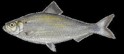 Fish species Sábalo - Alosa alosa
