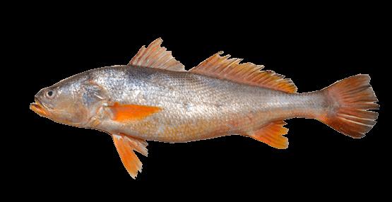 Fish species Sand Seatrout - Cynoscion arenarius