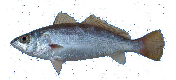 Fish species Silver Seatrout - Cynoscion nothus