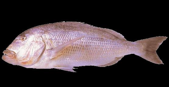 Fish species Dentón - Dentex dentex
