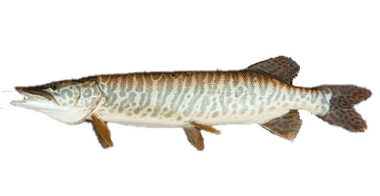 Fish species Muskie - Esox masquinongy