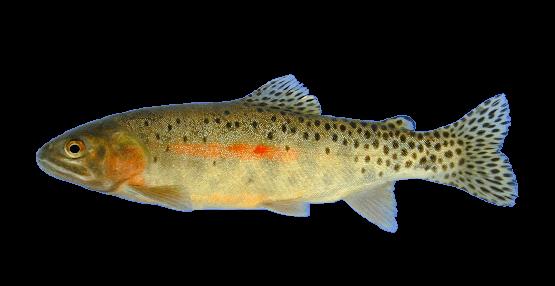 Fish species Coastal Cutthroat Trout - Oncorhynchus clarkii