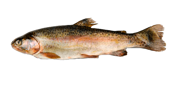 Fish species Rainbow Trout - Oncorhynchus mykiss