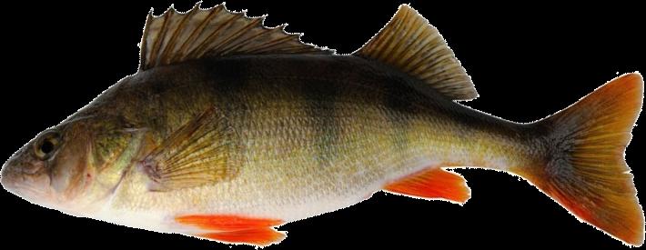 Fish species Perca Europea - Perca fluviatilis