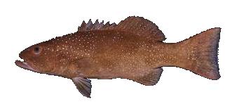 Fish species Leopard Coral Trout - Plectropomus leopardus