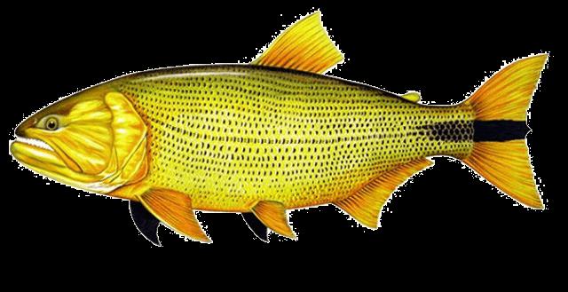 Fish species Dorado - Salminus brasiliensis