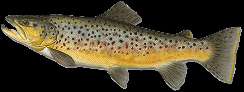 Fish species Sea Brown Trout - Salmo trutta trutta