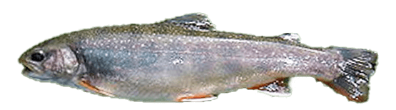 Fish species Dolly Varden Trout - Salvelinus malma