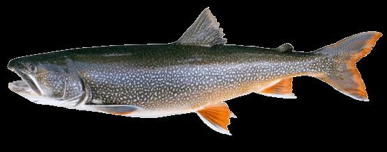 Fish species Lake Trout - Salvelinus namaycush