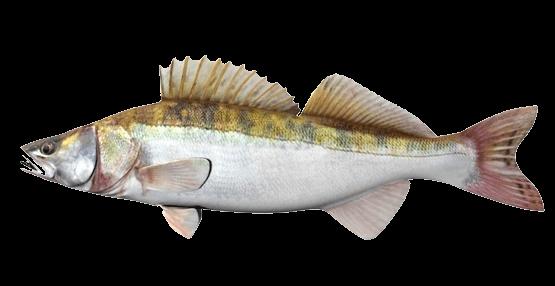 Fish species Lucioperca - Sander Lucioperca