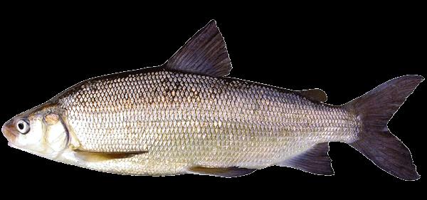 Fish species Inconú - Stenodus leucichthys