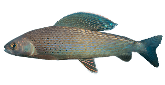Fish species Tímalo - Thymallus arcticus