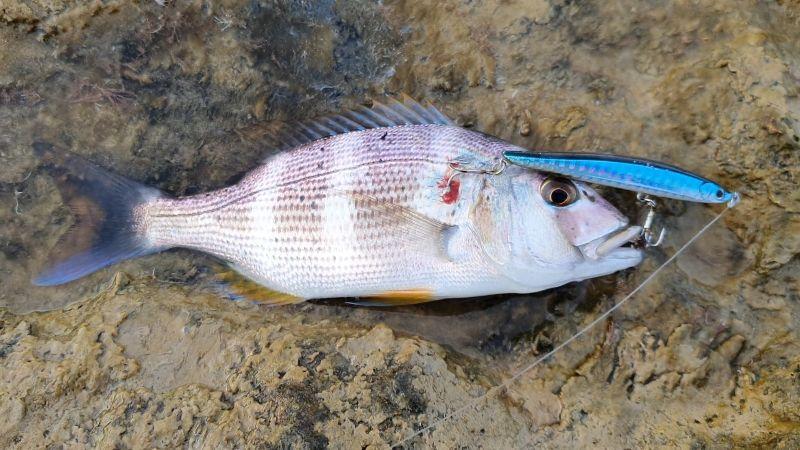 Page detail header image fish species Dentón - Dentex dentex