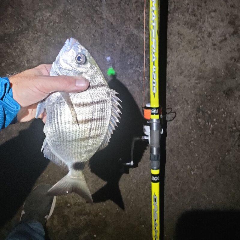 Page detail header image fish species Seabream - Diplodus sargus sargus