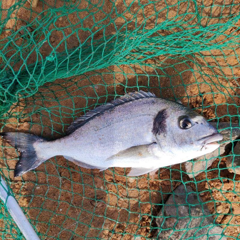 Page detail header image fish species Gilthead Seabream - Sparus aurata