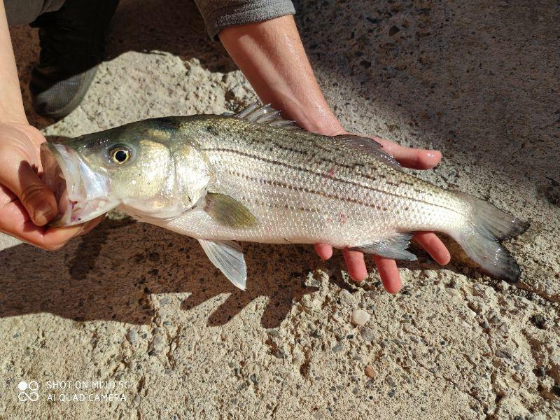 Page detail header image fish species Hybrid Striped Bass - M. chrysops × M. saxatilis