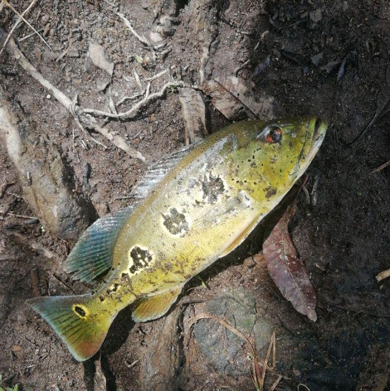 Page detail header image fish species Pavón - Cichla ocellaris