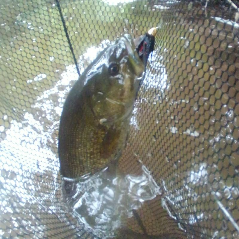 Page detail header image fish species Smallmouth Bass - Micropterus dolomieu